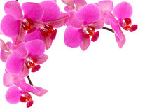 Orchid frame. Pink orchid flowers on white background Royalty Free Stock Photo