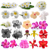 Orchid  Frangipani ,Asian pigeonwings, Flowers Isolated on White Stock Photo