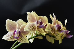 Orchid in full bloom on the table. Orchid with pink and purple flowers Royalty Free Stock Photo
