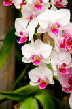 Orchid in garden Royalty Free Stock Photo