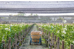 Orchid garden. Basket trolley in the whitw orchid garden Royalty Free Stock Photography