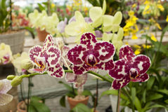 Orchid garden. Bright colored orchid orchids. garden in summer. tropical plants. orchid care. orchid cultivation. full of flowers. bright colors. biotechnology royalty free stock photos