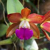 Orchid Garden 75. Cattleya Orchid in the garden Stock Image