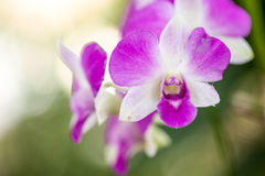 Orchid in the garden Royalty Free Stock Photo