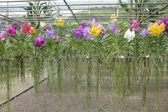 Orchid garden. Colorful orchids There are many different strains royalty free stock photography