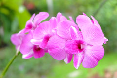 Orchid in garden Stock Photography