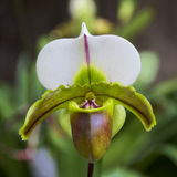 Orchid Garden 09. Paphiopedilum Orchid in the garden Royalty Free Stock Photo