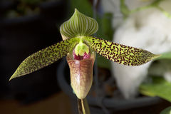 Orchid Garden. Paphiopedilum Orchid in the garden Stock Photography