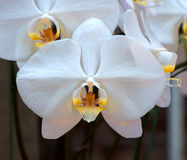 Orchid Garden. Phalaenopsis Orchid in the garden Stock Images