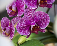 Orchid Garden. Phalaenopsis Orchid in the garden Stock Photo