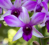 Orchid Garden. Purple Orchid [Dendrobium] in the garden Stock Photos