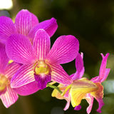 Orchid Garden 132. Purple Orchid [Dendrobium] in the garden Stock Image