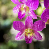 Orchid Garden 121. Purple Orchid [Dendrobium] in the garden Royalty Free Stock Photo