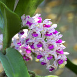 Orchid Garden 01. Purple orchid in the garden [Rhynchostylis Orchid Royalty Free Stock Photo