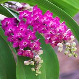 Orchid Garden 05. Purple orchid in the garden [Rhynchostylis Orchid Stock Photos
