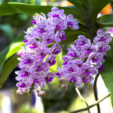 Orchid Garden 04. Purple orchid in the garden [Rhynchostylis Orchid Royalty Free Stock Image