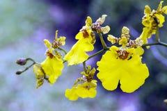 Orchid of genus Oncidium Stock Images