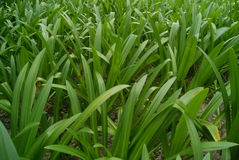 Orchid grass Stock Photography