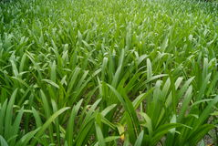 Orchid grass Stock Images