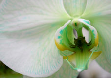 Orchid green blossom flower tropical close up Royalty Free Stock Image