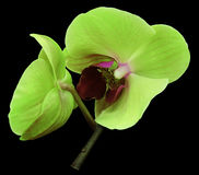 Orchid green  flower. Isolated on black background with clipping path.  Closeup. The branch of orchids. Royalty Free Stock Image