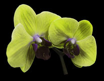 Orchid green flower. Isolated on black background with clipping path.  Closeup. The branch of orchids. Stock Photos