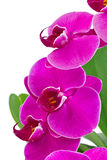 Orchid with green leaf Stock Images