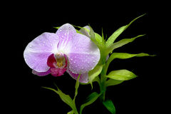 Orchid and green plant on a black backg. Blooming orchids and green plants in drops of dew on a black background closeup royalty free stock photography