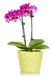 Orchid in the green pot isolated on white Stock Photo