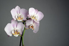 Orchid on grey Royalty Free Stock Images