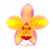Orchid. Ground orchid Flower isolated on white background Royalty Free Stock Photos