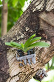 Orchid growing on tree Royalty Free Stock Photography