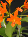 Orchid: Guarianthe aurantiaca Stock Image