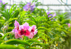 Orchid hanging in plant nursery. Stock Photos