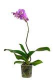 Orchid i en plast- kruka Fotografering för Bildbyråer