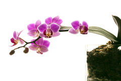 Orchid II. Pink Orchid on white with glass Stock Photos