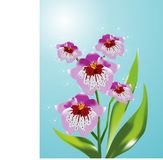 Orchid Irine Stock Photography