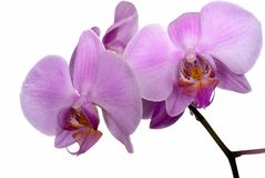 Free Orchid Isoladed On White Royalty Free Stock Photo - 16490765