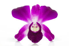 Orchid isolate on white background. Orchidaceae or orchid is flower of buddha Stock Photos