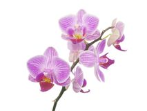 Orchid isolated. Brunch flowers pink orchid on white Stock Photography