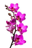 Orchid isolated Royalty Free Stock Image