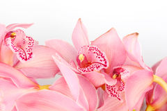 Orchid isolated Stock Image