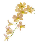 Orchid isolated Royalty Free Stock Photos