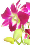 Orchid isolated. Orchid Stock Images