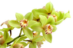 Orchid isolated Stock Photography