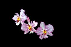 Orchid isolated. A isolated picture of purple and white orchid on black background Royalty Free Stock Photo