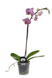 Orchid isolated. Orchid in the pot on a white background (interior Royalty Free Stock Image
