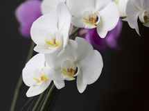 An orchid. Isolated orchid on black background Stock Images
