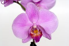 Orchid isolated on gray Royalty Free Stock Images
