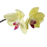 Orchid isolated ob white Royalty Free Stock Photo